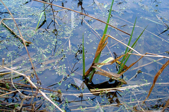Green reeds in the pond