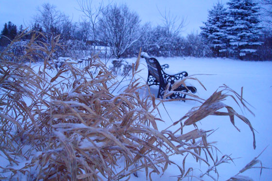 Snow covered grasses at dawn