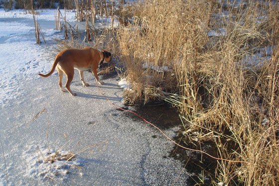 Dog on thin ice