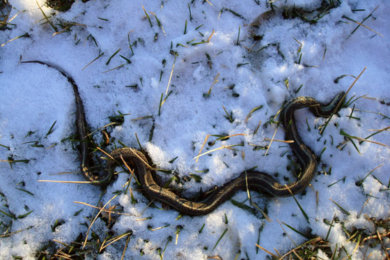 Dead snake in the snow