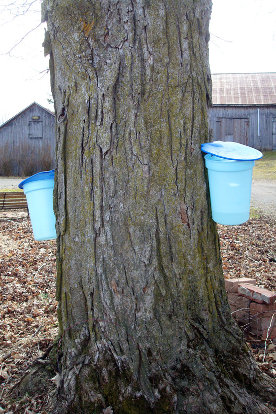 Tapping maple trees
