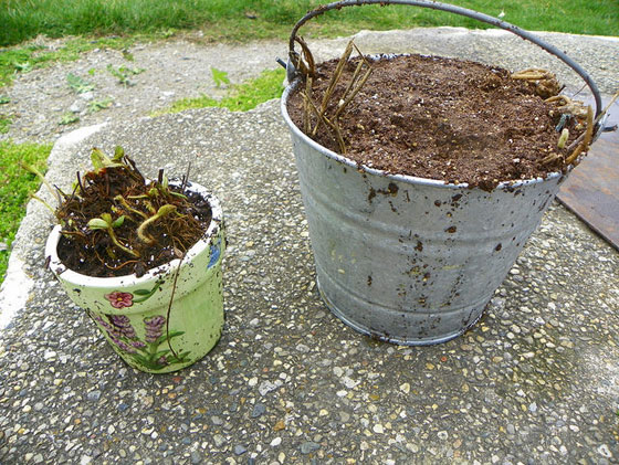 Strawberry and asparagus starts in a bucket
