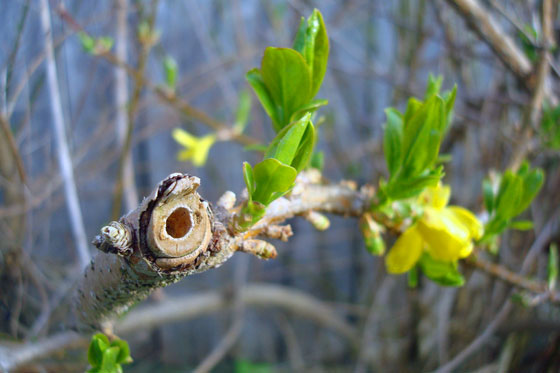 Hollow forsythia branch