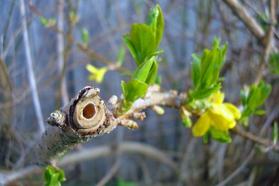 Hollow forsythia branch