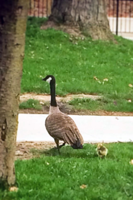 Mother goose and gosling