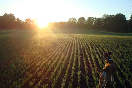 Baxter in the hayfield at dawn