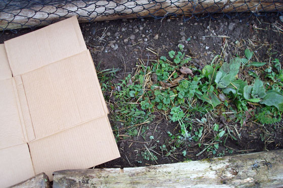 Using cardboard to kill weeds in the vegetable garden