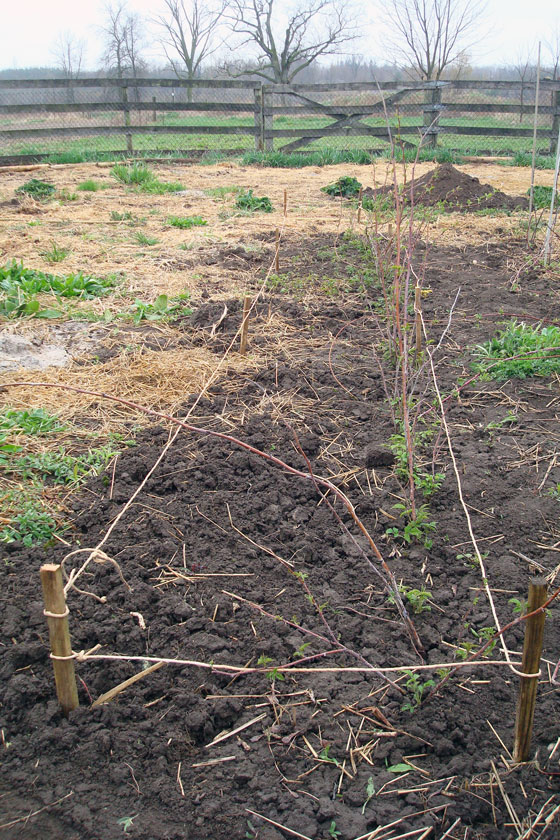Raspberry row marked with stakes and twine