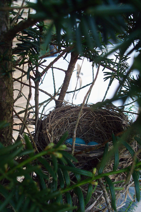 Three robin eggs in a nest
