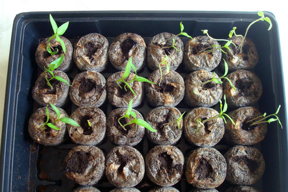 Pepper and tomato seedlings