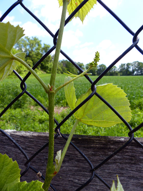 Baby grapes on new vines