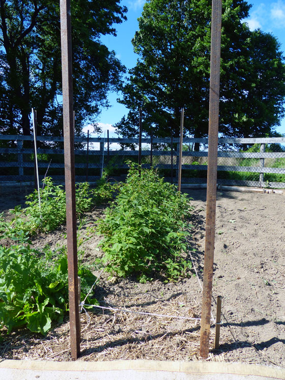 Raspberries trellised with steel T posts