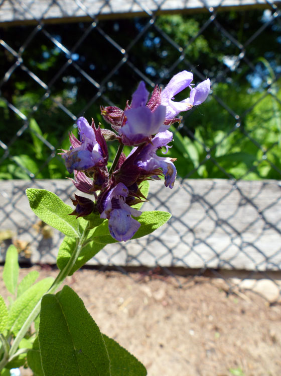 Sage blossom