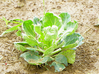 Brussels sprouts plants