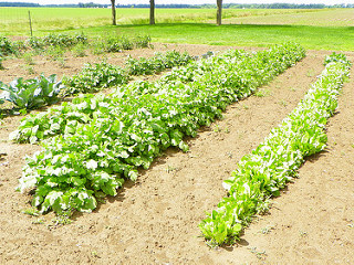 Rows of vegetables in the garden
