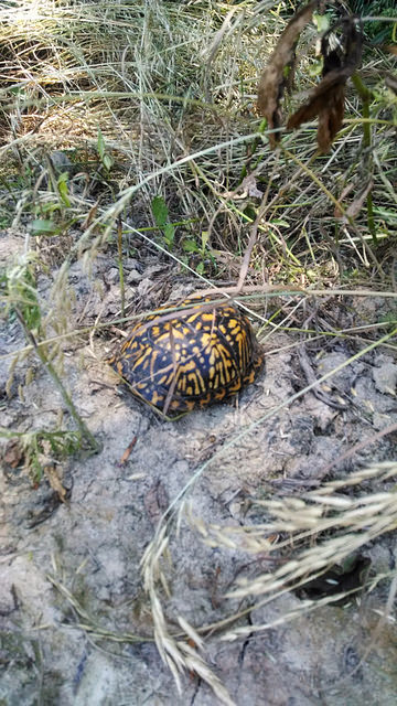 Yellow and black box turtle