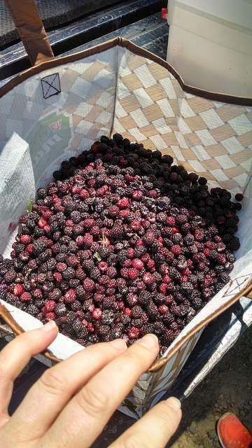 Bin of wild black raspberries