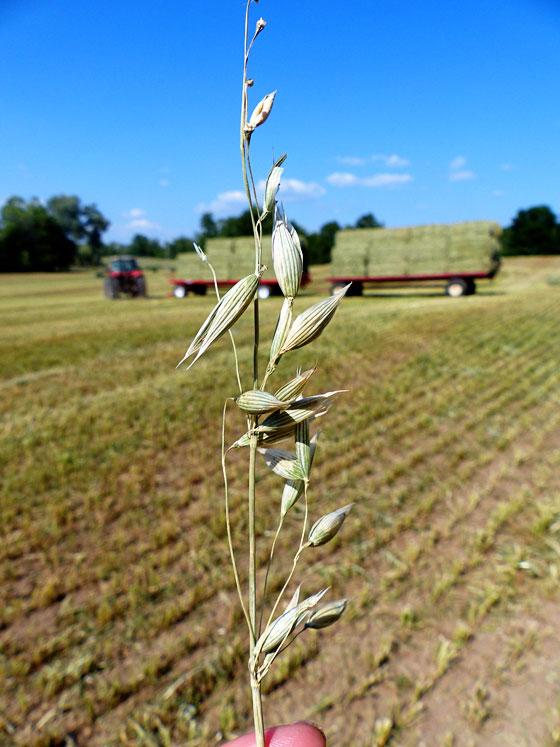 Oats harvest