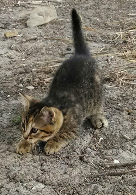 Tiger stripe kitten