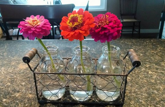 Three zinnias in milk bottles