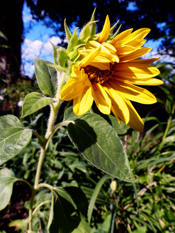 Mini sunflower