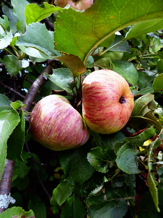 Apples growing wild