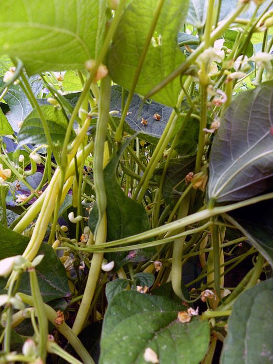 Yellow bush beans
