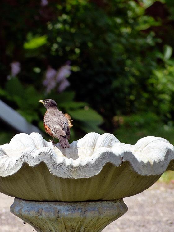 Robin in a birdbath