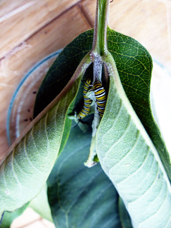 Monarch caterpillars eating milkweed leaves