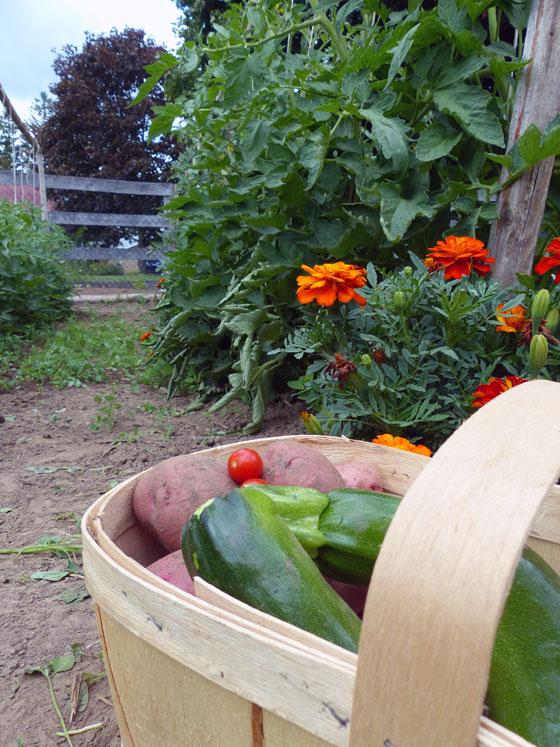 Basket of potatoes and zuccini in front of marigolds in the vegetable garden