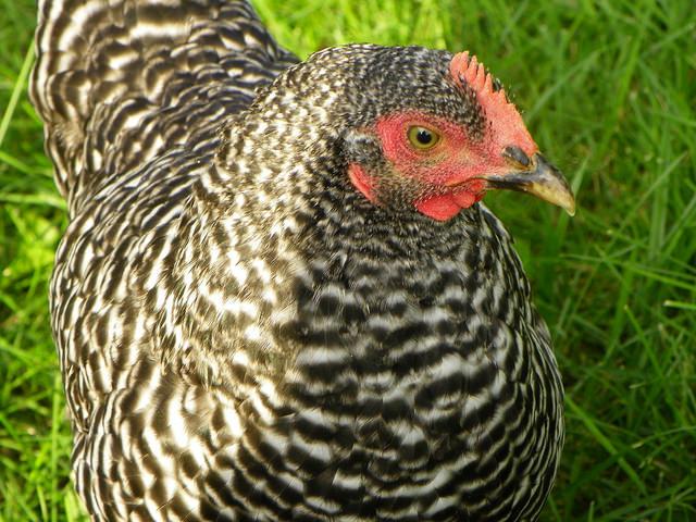 Bossy chicken
