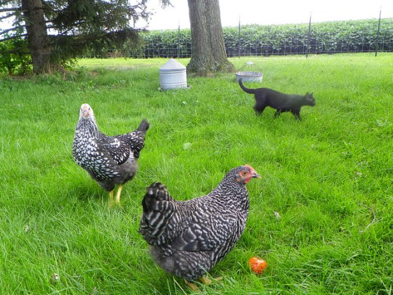 Cat walking amongst the chickens