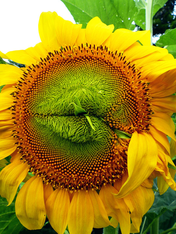 Sunflower puckered up for a kiss