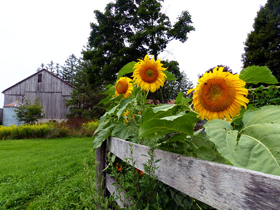 Sunflowers on the weathered wood fence