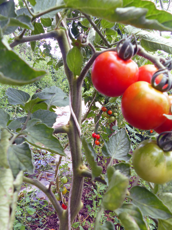 How to train tomato plants to grow up a string