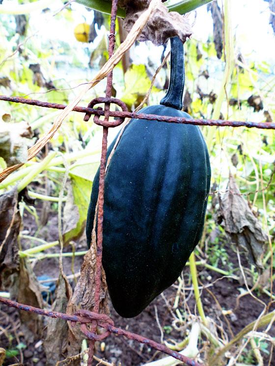 Elongated acorn squash