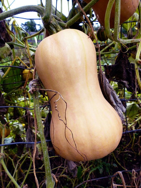 How to grow squash vertically