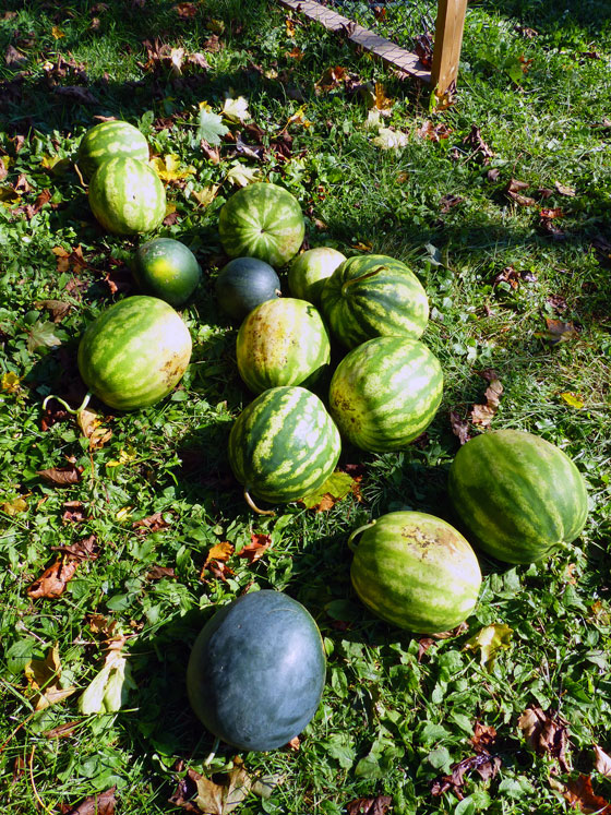 Watermelon harvest fall 2016