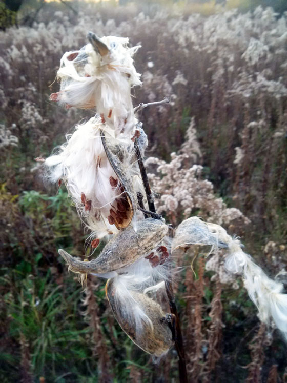 Burst milkweed pods