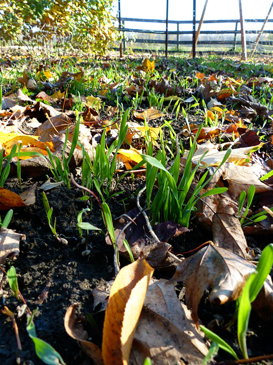 Winter rye sprouts in the vegetable garden
