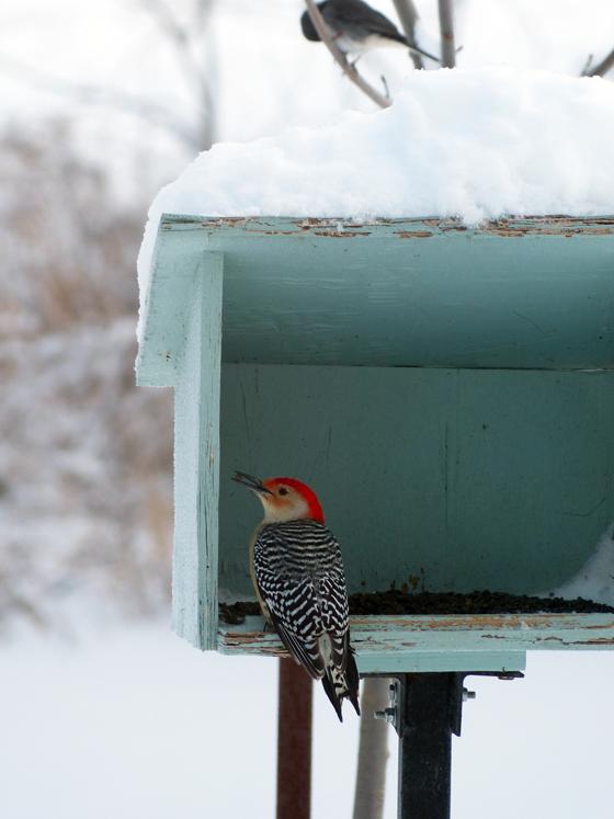 Woodpecker at the birdfeeder