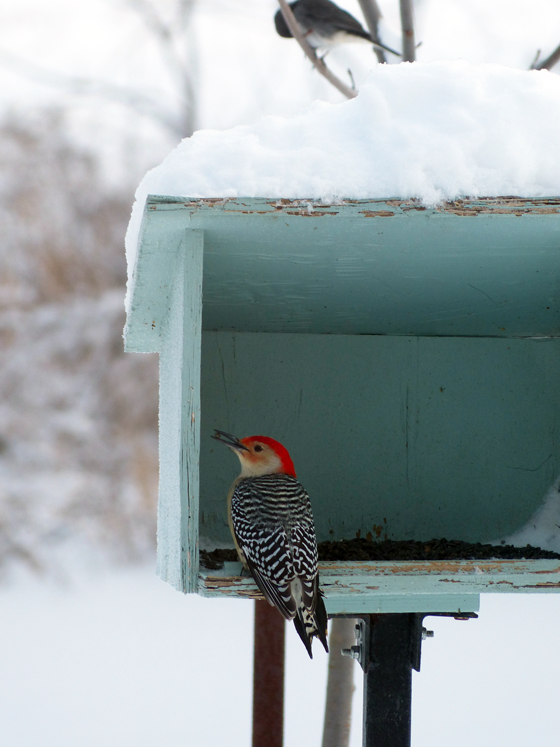 Woodpecker at the birdfeeder