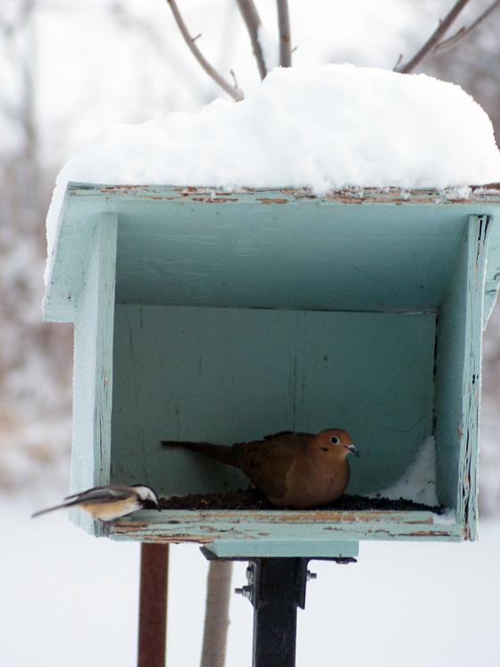 Dove at the birdfeeder