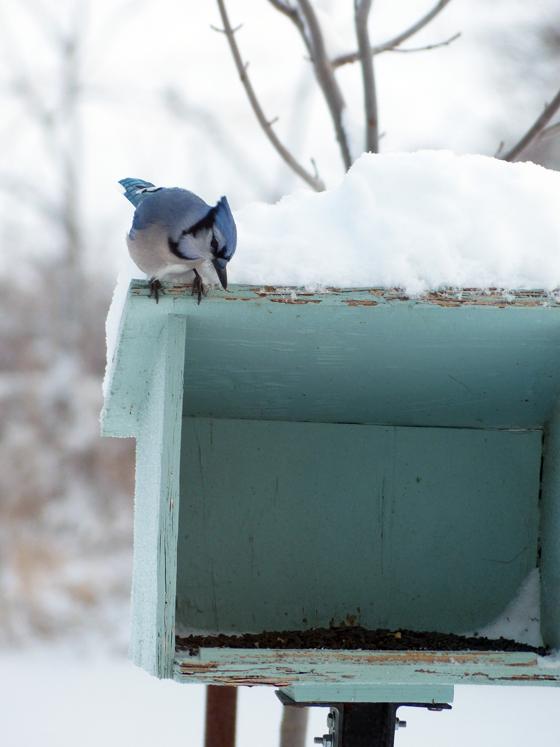 Blue jay at the birdfeeder