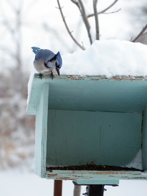 Blue jay at the birdfeeder