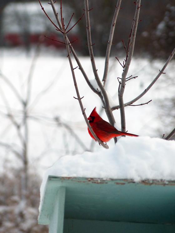Cardinal at the birdfeeder
