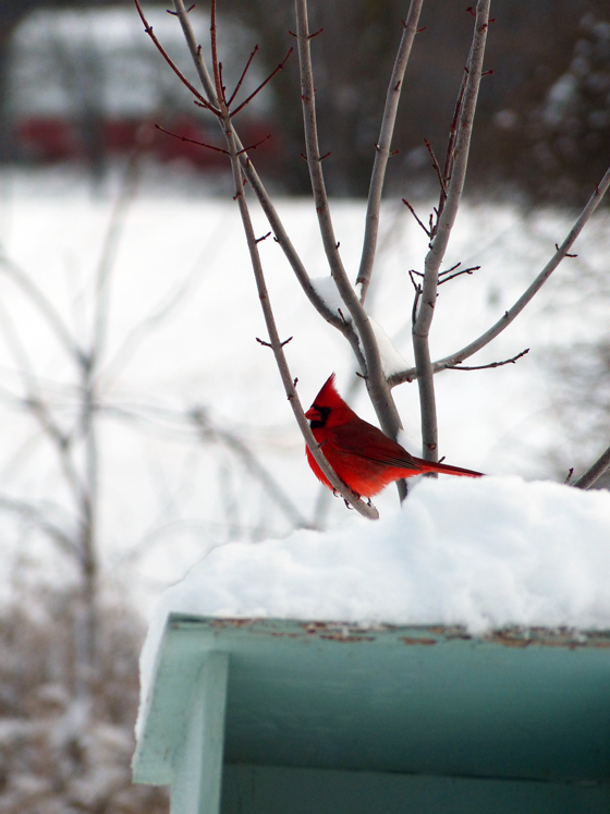 Cardinal at the birdfeeder