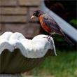 Robin at the birdbath