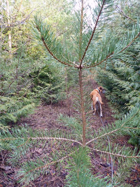 Hiking through an evergreen forest