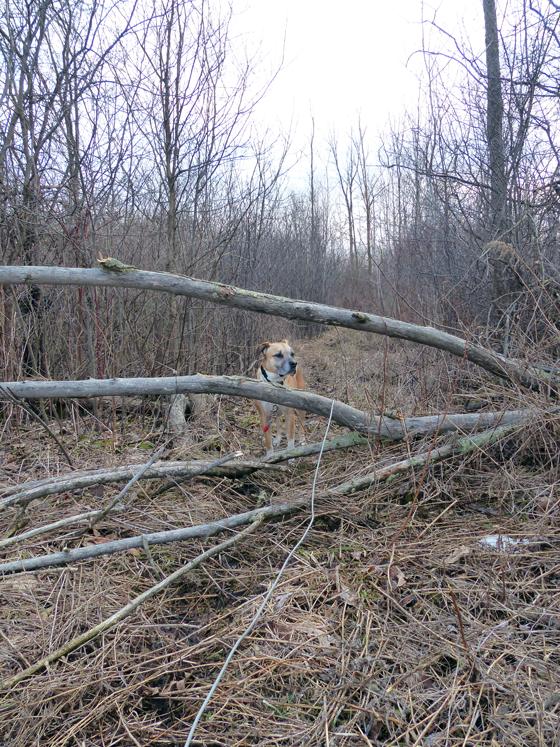 Baxter behind a fallen tree